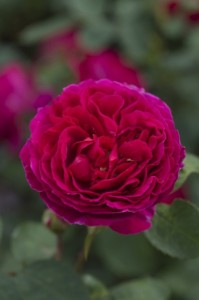 Heathcliff---David-Austin-English-Rose