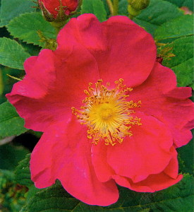 Rose-Apothecary Rose