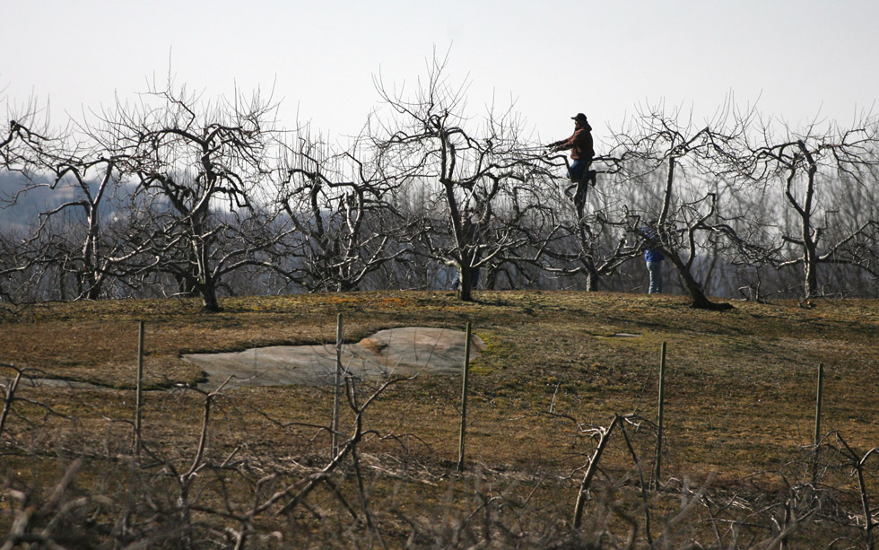 Its time for pruning at Scott's Orchard and Nursery as farm worker Jose Santos trims branches on a fruit tree Wednesday morning.