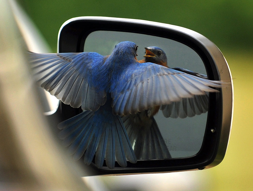 HC-Bluebird-in-mirror