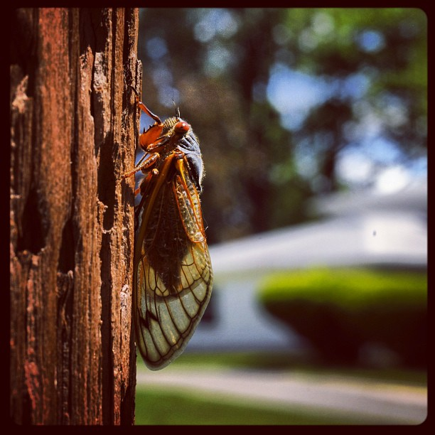 Cicadas in Meriden, the invasion has begun