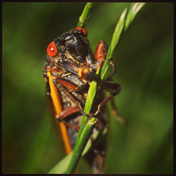 #cicadas, munching on a blade of grass in Meriden.