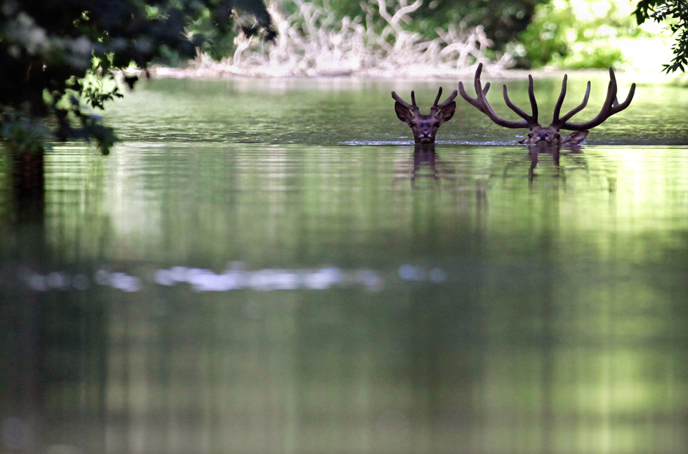 Deer look for shelter in the flooded Danube River to look for shelter in the Gemenc Forestr. Thousands of deer, boar, fox, and other wildlife live in the forest. AFP PHOTO / PETER KOHALMI/AFP/Getty Images