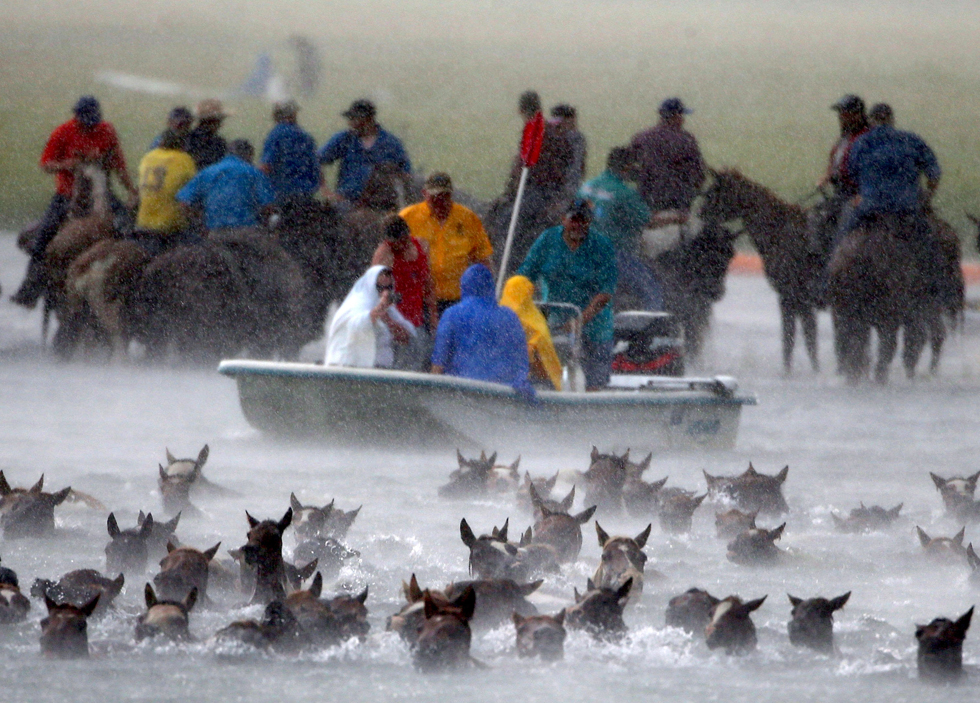 Wild ponies are herded into the Assateague Channel during a rain storm for their annual swim from Assateague Island to Chincoteague, Virginia. Every year the wild ponies are rounded up on the national wildlife refuge to be auctioned off by the Chincoteague Volunteer Fire Company.  (Photo by Mark Wilson/Getty Images)