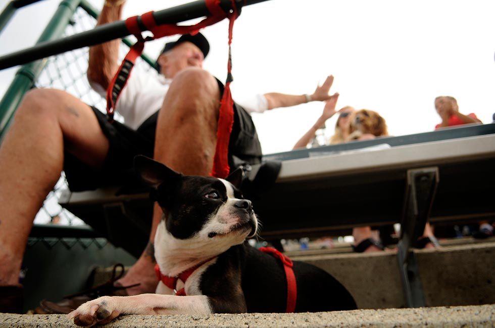 Nella, a three year old Boston Terrier, watches the action as her owner Allen Nelson high-fives Emily Pettersen after the Rock Cats made a nice play in the field. Pettersen's husband AJ was playing second base during the first game while she held onto their Cava-Bear, Willa.
