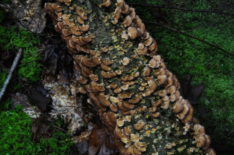 Covered in turkey tail fungus, this fallen tree lies on a bed of moss.