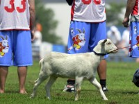 The team mascot, Sugar, watches from the sidelines.