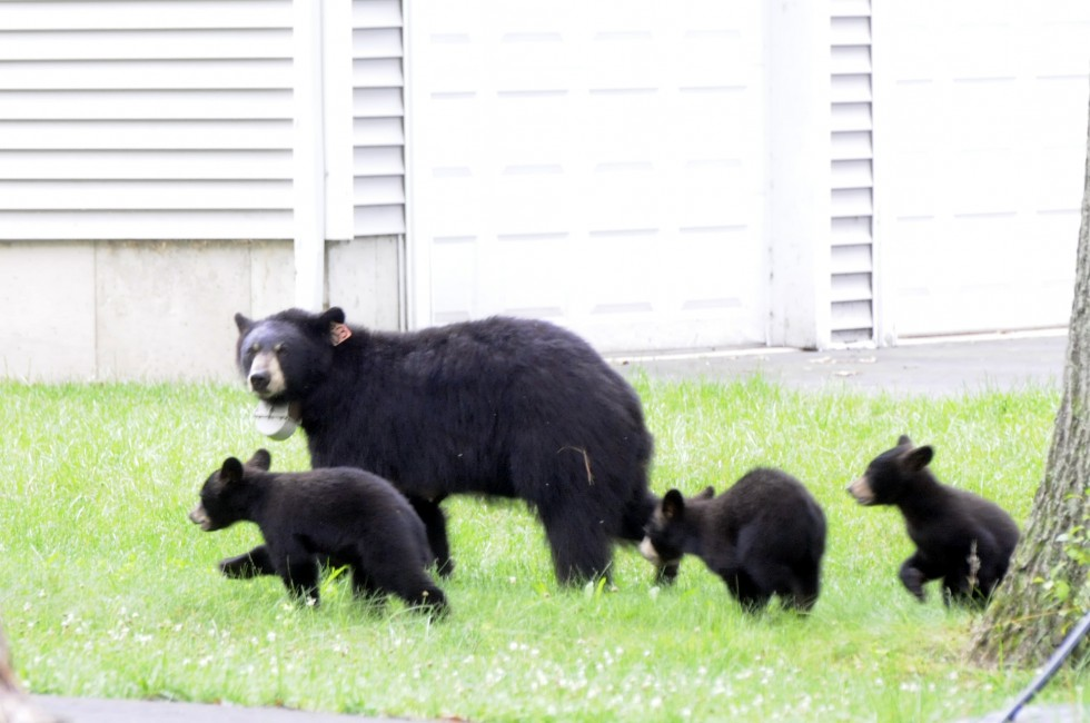 A mother bear and her three cubs wondered the yards of homes along Arch Road in Avon, Tuesday, looking through garbage for a quick meal. The bears head back to the back of the yard after rummaging through a garbage can left on the curb for pick up.