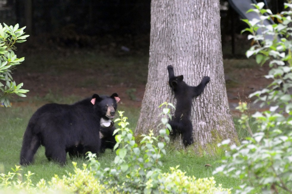 A mother bear and her three cubs wondered the yards of homes along Arch Road in Avon, Tuesday, looking through garbage for a quick meal. One young cub tries to make its way up a tree under the watchful eye of its mother.