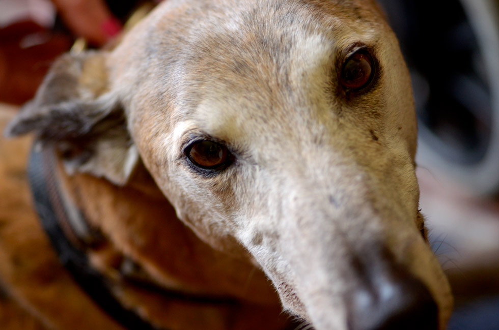 This is Ben, Paul and Marilyn's eight-year-old greyhound.