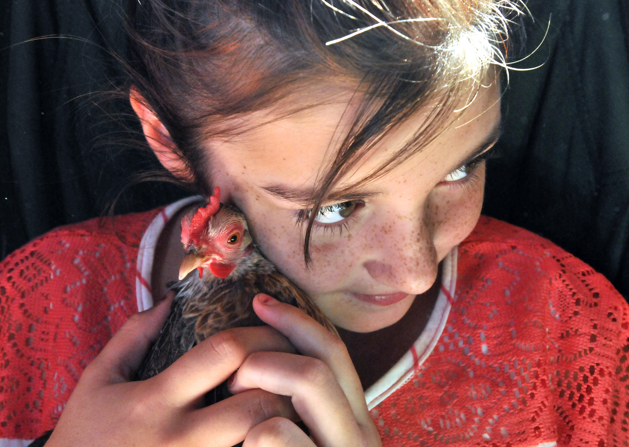 Goshen, CT - 08/02/12 - Layla Decker, 11, of Goshen, holds her friend's silver duck wing old english hen in the poultry barn at the 100th Goshen Fair.