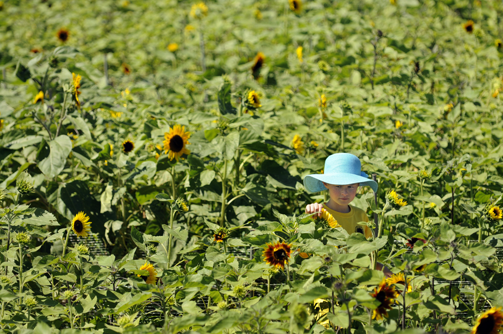 Rachel Harrington, 11, of Cheshire, feels the petals of a sunflower while visiting the Sunflower Maze at Lyman Orchards.