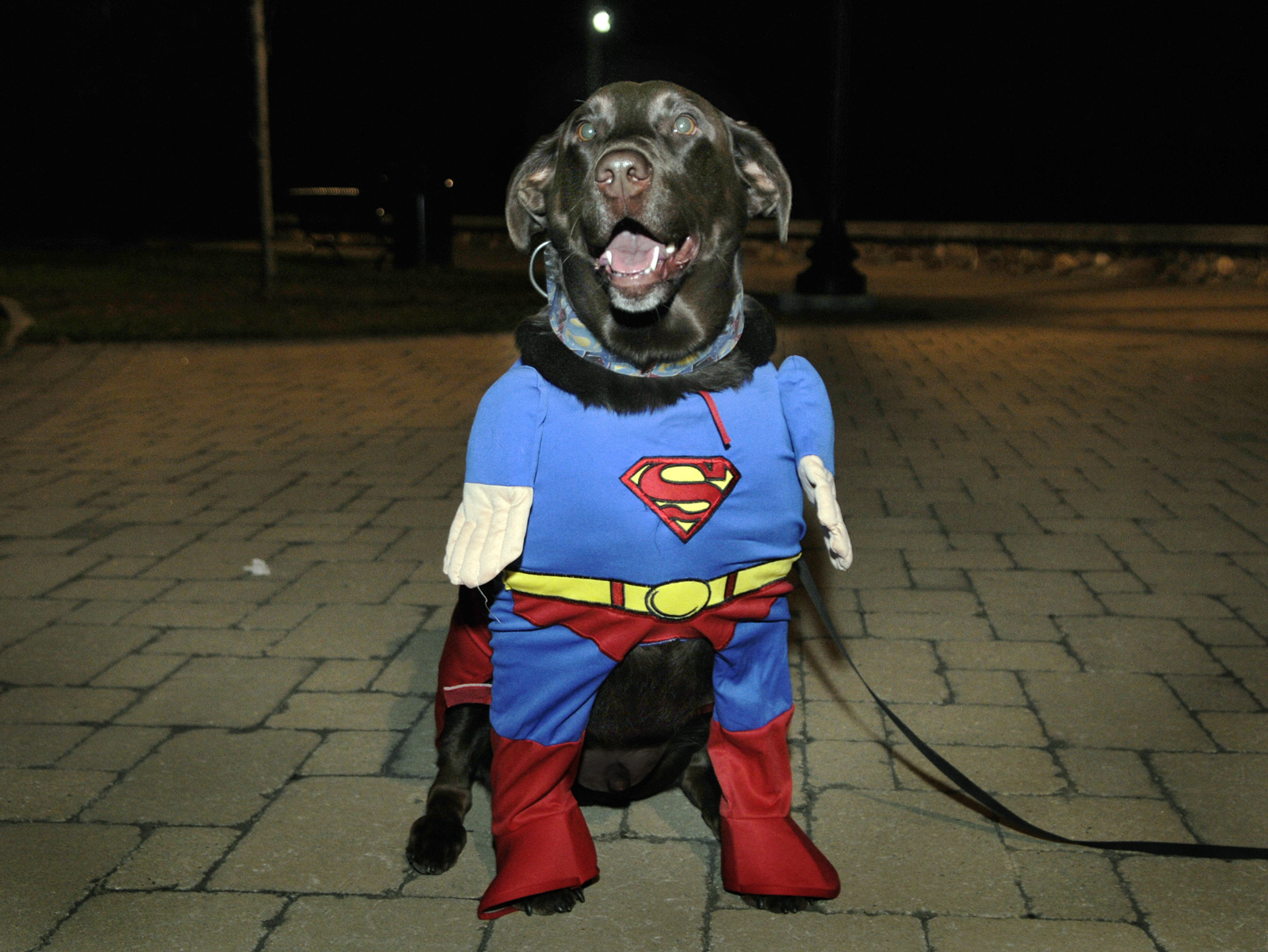 Gideon, a chocolate lab owned by Debbie and Tom Bacharach of Bristol, sports a Superman costume. Gideon won the best overall costume prize.