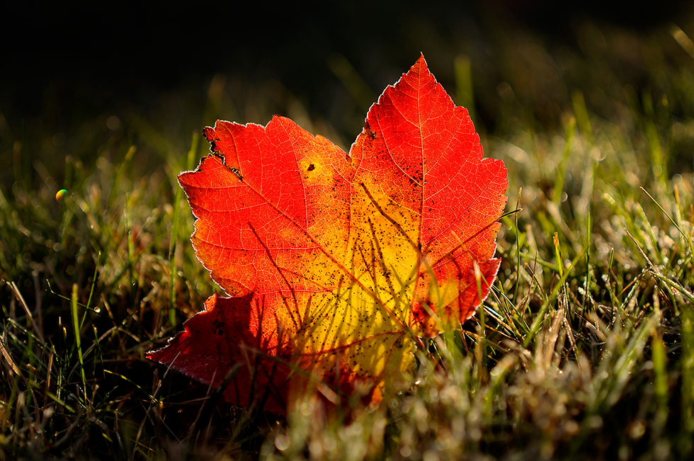 The first hard frost of the season hit most of central Connecticut on Saturday morning as a maple leaf is outlined with the icy remnants as the sun turns it to dew.