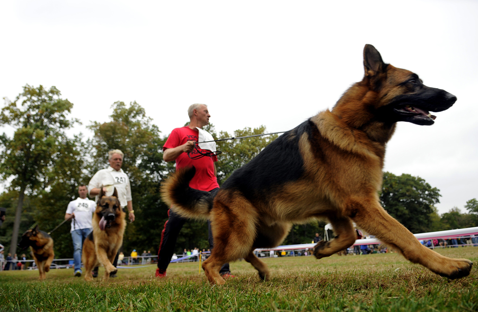 Thomas Schoder walks Nando Av Locathelli around the ring during the 18-24 month male dog class during the North American WUSV Sieger Show Sunday afternoon. Nando took third place for the class.