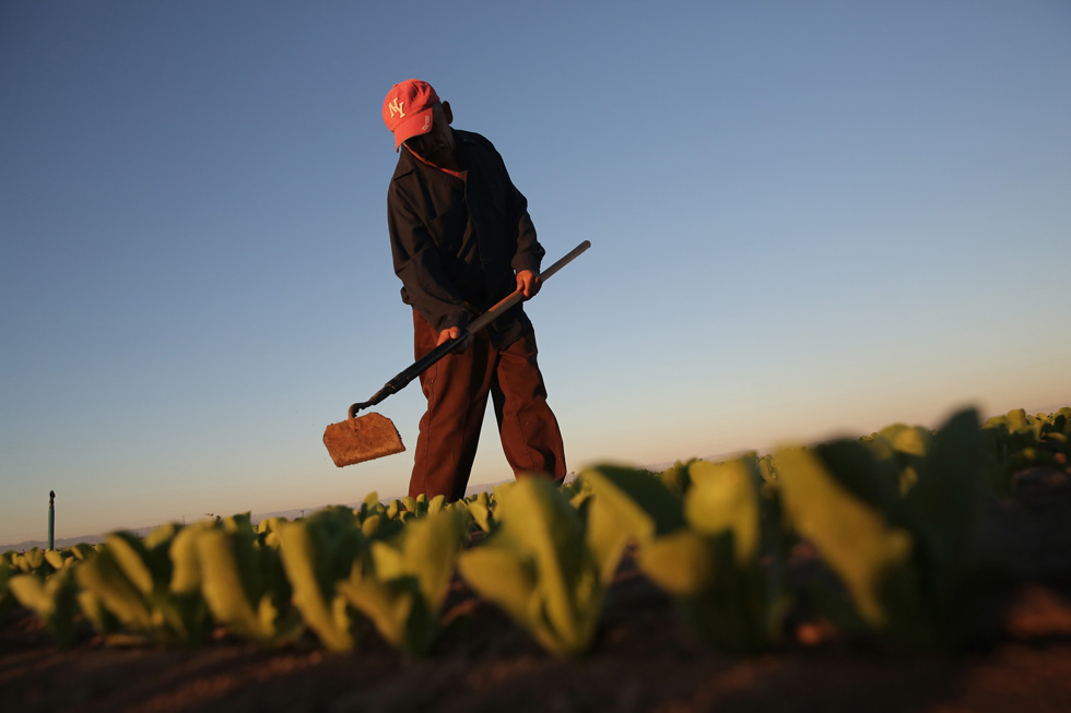 HOLTVILLE, CA - A Mexican agricultural worker cultivates lettuce on a farm in Holtville, California, October 8, 2013,  Each night thousands of Mexican workers cross the border legally  in order to work as agricultural day laborers in California's fertile Imperial Valley.(Photo by John Moore/Getty Images)