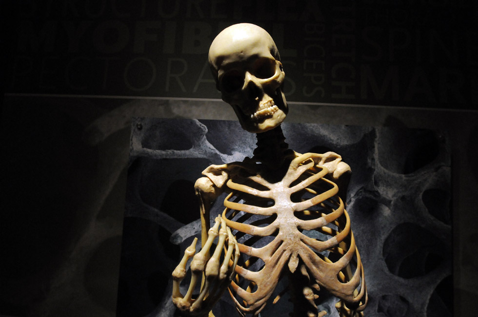 "A skeleton at the ""Bodies Revealed"" exhibit at the Connecticut Science Center in Hartford. Bodies revealed features real, preserved and dissected human bodies. The exhibit is at the science center Sept. 21-Jan. 5."