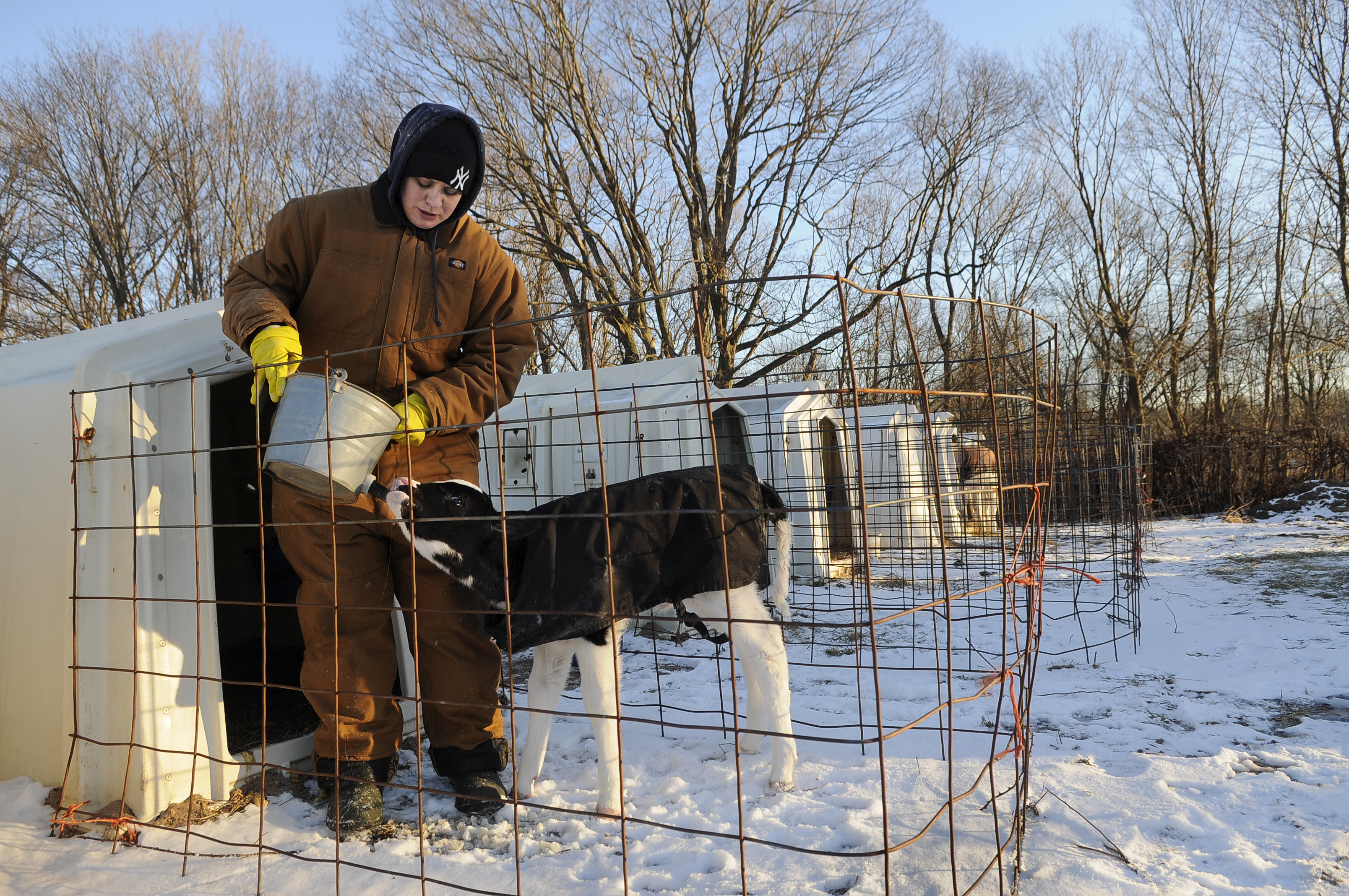 DURHAM 01/08/14 Melissa Greenbacker feeds Eve, a calf born on New Years Eve, with a nipple bucket at Greenbacker Farm in 5-degree weather Wednesday morning. Greenbacker spends each morning feeding and watering the 20 calves on the Durham dairy farm.  CLOE POISSON|cpoisson@courant.com