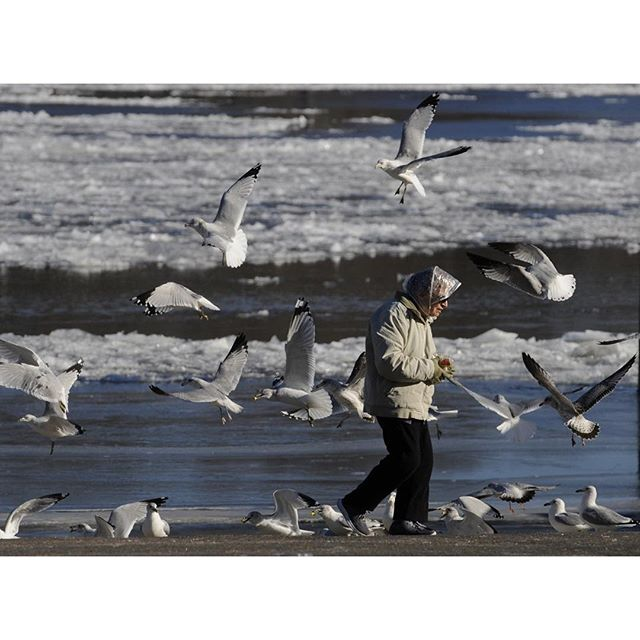Alert to the arrival of her car, seagulls flock for a buffet of cheezy popcorn courtesy of Rocky Hill resident Marian Lazzeri Thursday afternoon. Lazzeri brings the popcorn, her favorite, to the Rocky Hill boat launch to feed the birds every day.  MICHAEL McANDREWS | mmcandrews@courant.com