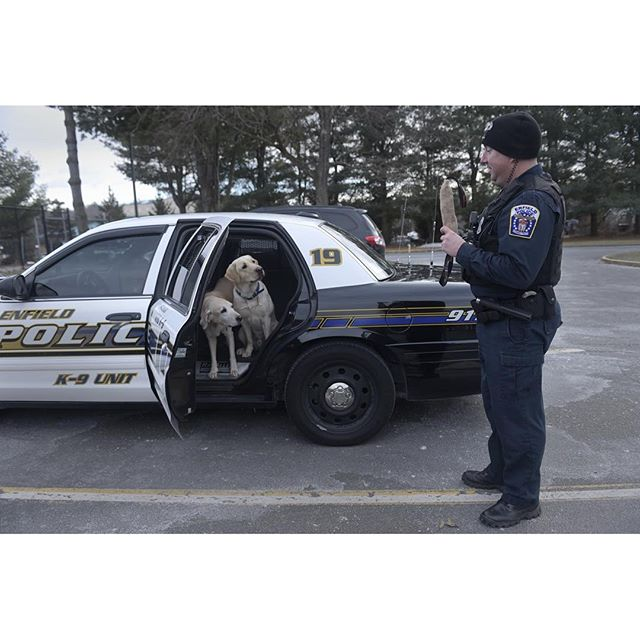 Enfield K-9 Officer Brian Croteau will soon retire his yellow lab Promise (at left) and start training with his new K-9 companion Putnam (at right) in the next few weeks, leaving Promise at home after many years of service. PATRICK RAYCRAFT | praycraft@courant.com